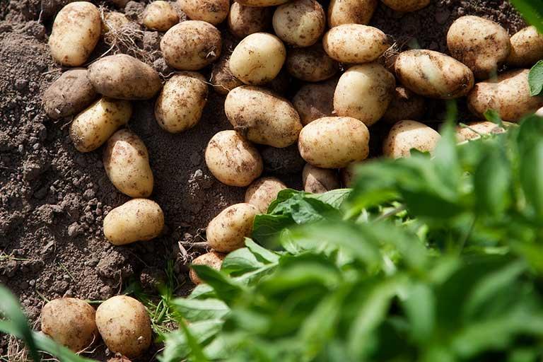 Gunnel Englund potatis och rotfrukter