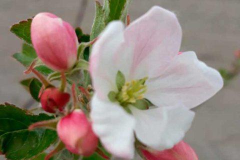 Smeds äppelblom omenakukintaa