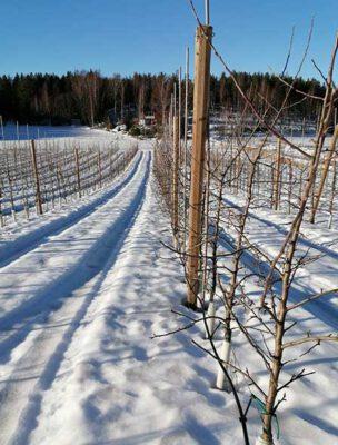 Gunnel Englund äppelträd på Smeds vinter
